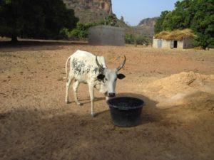 """Eine der ersten Kühe die im Rahmen des Projektes """"Kauf eine Kuh in Mali"""" gekauft wurde."""